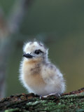 Baby White Tern on Branch  Midway Atoll National Wildlife Refuge  Hawaii  USA