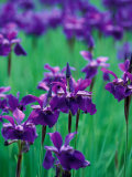 Purple Iris at Weyerhaeuser Rhododendron Display  Washington  USA