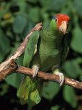 Green Cheeked Amazon  Amazona Viridigenalis