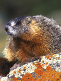 Yellow-bellied Marmot  Yellowstone National Park  Wyoming  USA
