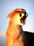 Mountain Lion with Mouth Open  Southwest US
