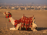 Camel Near Pyramids of Giza  Cairo  Egypt