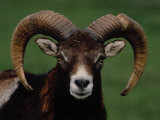 Barbary Sheep  North Africa