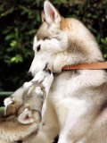 Two Dogs  Siberian Husky Breed  Play with Each Other