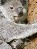 An 8-Month-Old Koala Joey