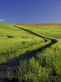 Road Thru Green Wheat Field  Palouse  Washington  USA