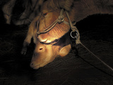 Sheep with Halter at Night
