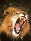 Lion Roaring in the Wild