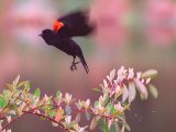 A Red-Winged Blackbird Lifts from its Perch on a Blooming Tree on a Rainy Spring Day