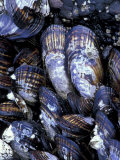 California Mussels at Tongue Point  Salt Creek State Park  Washington  USA
