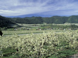 Apple and Pear Orchards in Bloom  Washington  USA