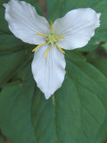 Trillium along Trail to Sol Duc  Olympic National Park  Washington  USA
