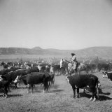Cowboys of the Bannock Shoshone are Shown During the Annual Fall Roundup of Cattle