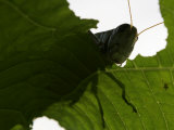 A Late Summer Grasshopper Munches on Some Green Leaves