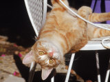 Tabby Cat Sitting with Head Hanging Upside Down