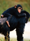 Baby Chimpanzee Lying on Mother&#39;s Back (Pan Satyrus)  Miami  USA