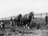 Potato Lifting Using Horses and Plough Near Rickmansworth Hertfordshire