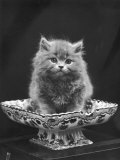 This Cute Little Blue Persian Kitten Sits Innocently in a Large China Dish