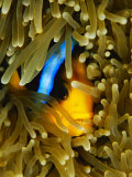 An Orange-Fin Anemonefish Nestled in the Tentacles of a Sea Anemone