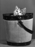 Small Kitten Hides in a Bucket Gazing up at the Photographer