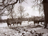 Cattle Pictured in the Snow at Shenley  Hertfordshire  January 1935