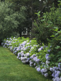 Hydrangeas in Bloom Along a Landscaped Yard