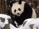 National Zoo Pandas in Snow