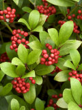 Skimmia Reevesiana  Clusters of Red Berries