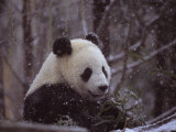 National Zoo Panda Eats Bamboo During a Winter in the Snow
