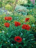 Papaver Orientale  Alchemilla Mollis Aquilegia  Ranunculus Arvensis Cae Hir  Wales