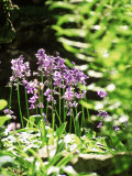 Hyacinthoides (Unnamed Bluebell)  Ferns