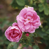 "Rosa X Centifolia ""Muscosa"" (Syn R Old Pink Moss)"