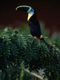 Channel Bill Toucan (Ramphastos Vitellinus) in Profile  Colombia