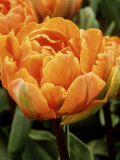Tulipa &quot;Orange Princess&quot; (Tulip)  Close-up of Orange Flowers