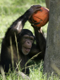 A Young Chimpanzee Attempts to Crack a Coconut Colored Orange to Look Like a Pumpkin