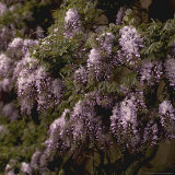 Wisteria Detail of Flowers and Foliage