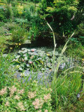 Pond with Nuphar (Water Lilies)  Astilbe (False Goatsbeard) and Caltha (Kingcup)