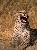 Panther  Okavango Delta  Botswana
