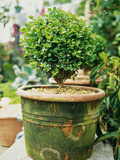 Small Buxus (Box) Topiary in Moss Covered Pot