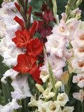 Gladiolus  Mixed Variety Close-up of Flowering Stems