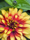 Zinnia  Close-up of Yellow and Red Flower Head