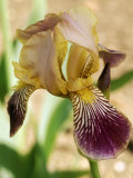 Iris Sambucina Close-up of Yellow Flower with Purple Veined Falls