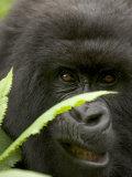Mountain Gorilla (Gorilla Gorilla Berengei)Showing Teeth  with Leaves