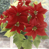 Euphorbia Pulcherrima Poinsettia in Pot on Windowsill
