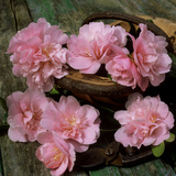 Pale Pink Camellia Flowers with Small Garden Trug and Secateurs on Rustic Table