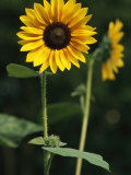 A Sunflower on a Sunny Summer Day