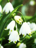 Leucojum Aestivum