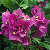 "Bougainvillea ""Purple Robe"" Close-up of Flowers"