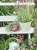 "Lavandula Angustifolia ""Munstead"" in Bucket on Bench Impatiens  Watering Can Wimbledon 1994"