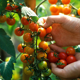 Hands Picking Cherry Tomatoes  Close-up of Fruits on Plant